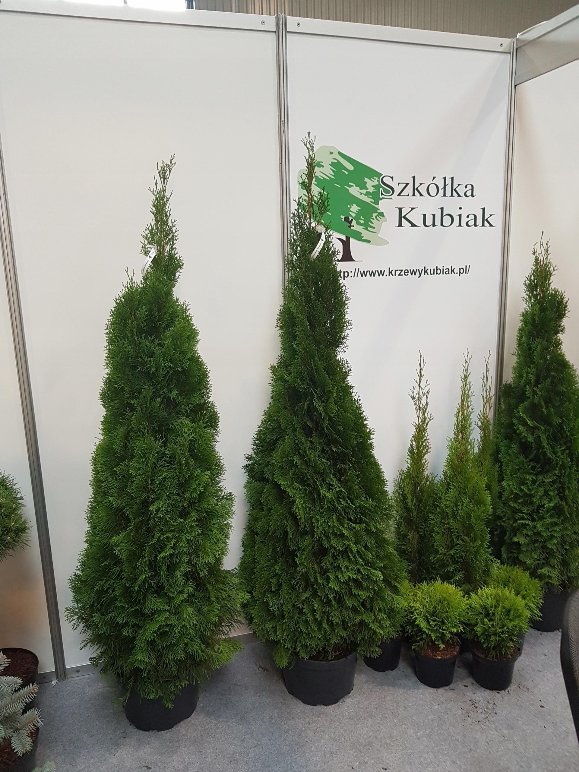 Tuja Szmaragd Thuja Smaragd Kopana 180cm 210cm