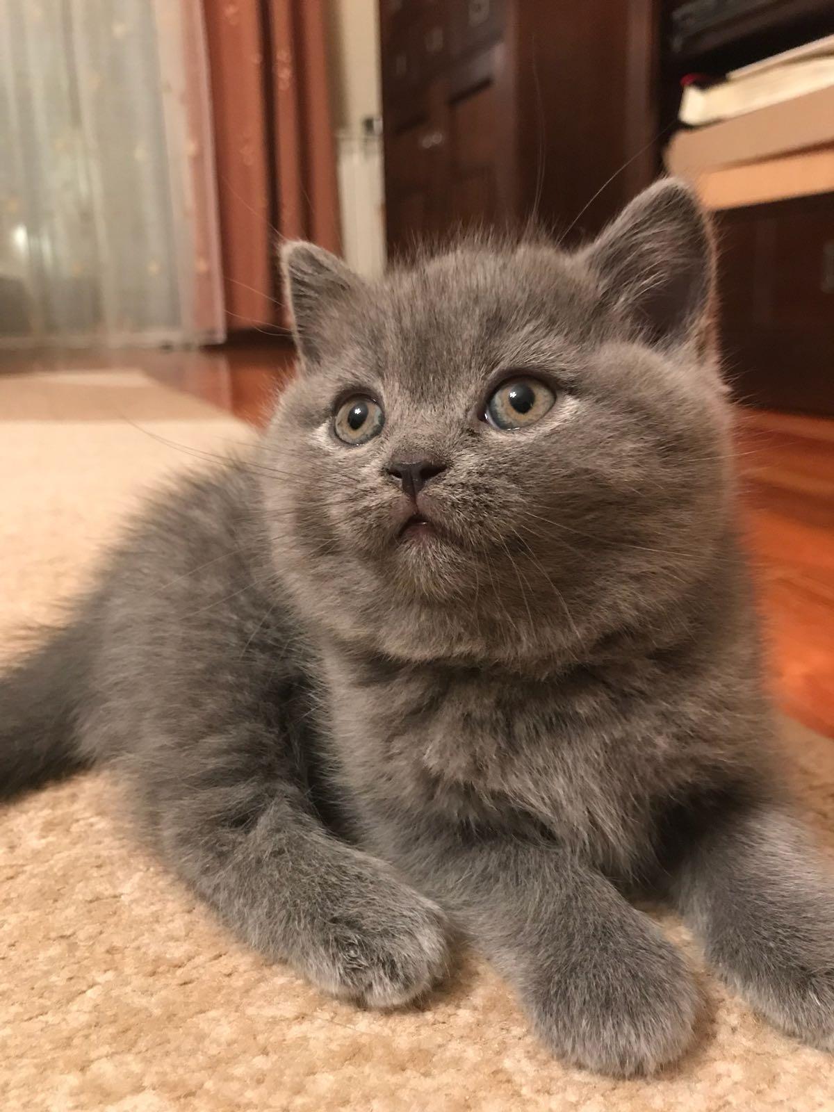 Koty Kocięta Brytyjskie Niebieskie I Liliowe 7407834369