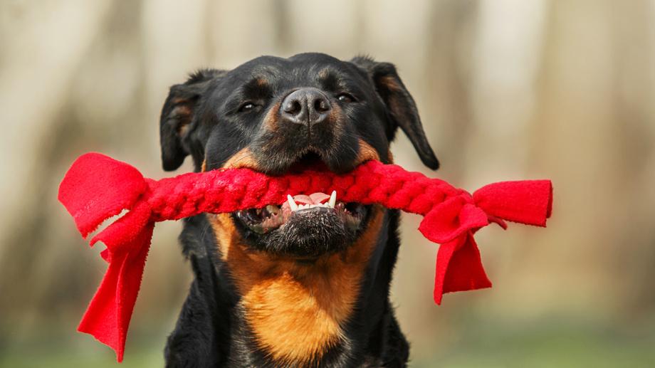 Wybieramy zabawkę dla dużego psa