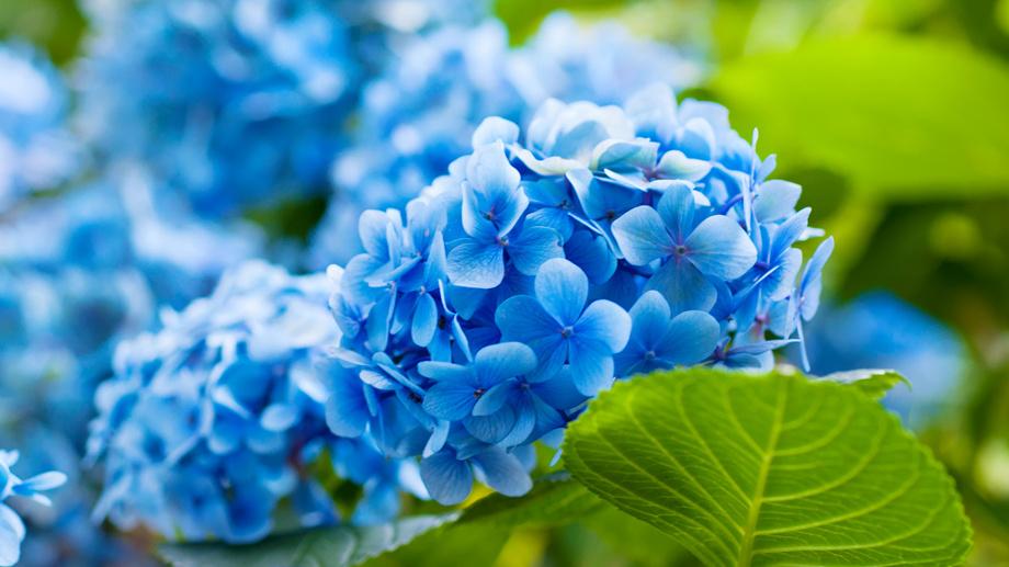 Niebieski Ogród 10 Roślin Ogrodowych W Kolorze Nieba