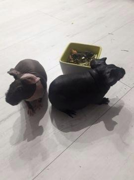 Sprzedam dwie świnki skinny z całym wyposażeniem