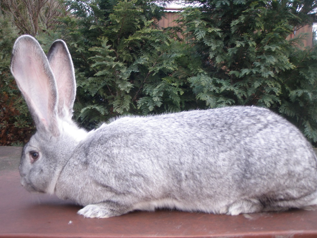 Olbrzym Belgijski Srebrny BOS królik króliki