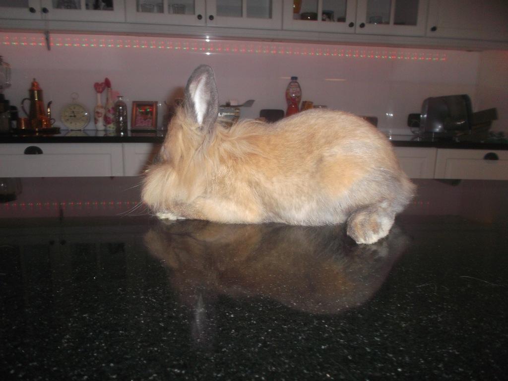 królik - lew
