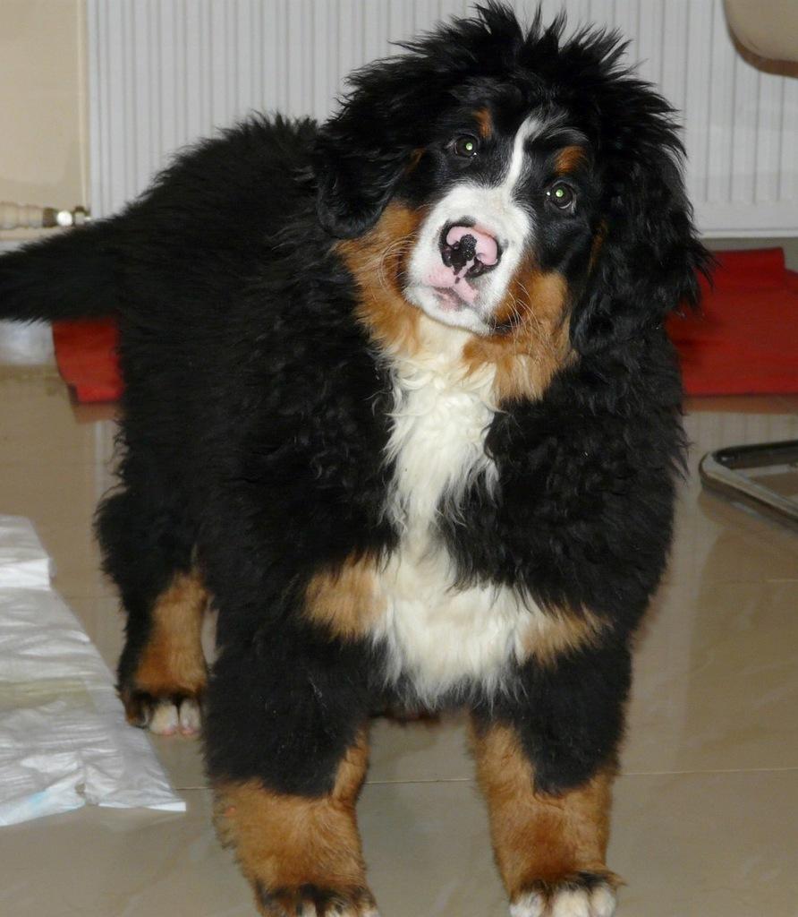 Bernenski Pies Pasterski Doskonale Szczenieta 7635337082 Oficjalne Archiwum Allegro