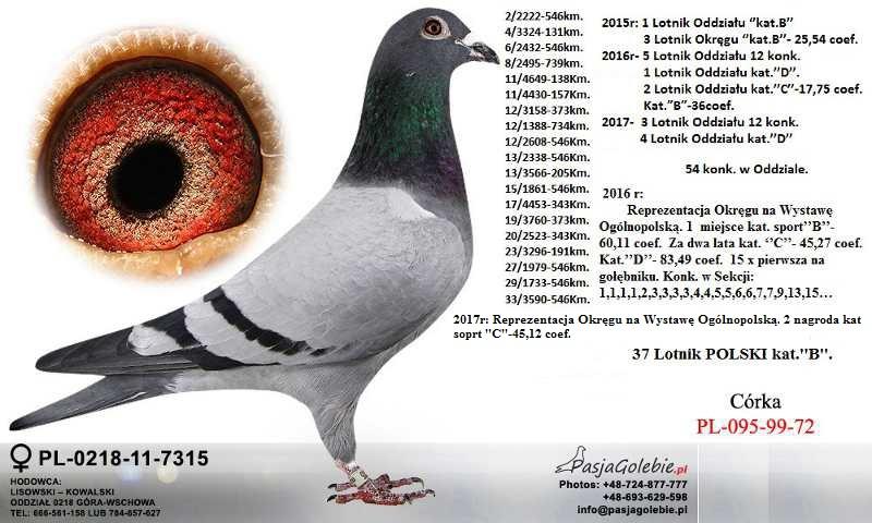 Wielokrotny Mistrz Sprzeda Golebie Mlode 7244241161 Oficjalne Archiwum Allegro