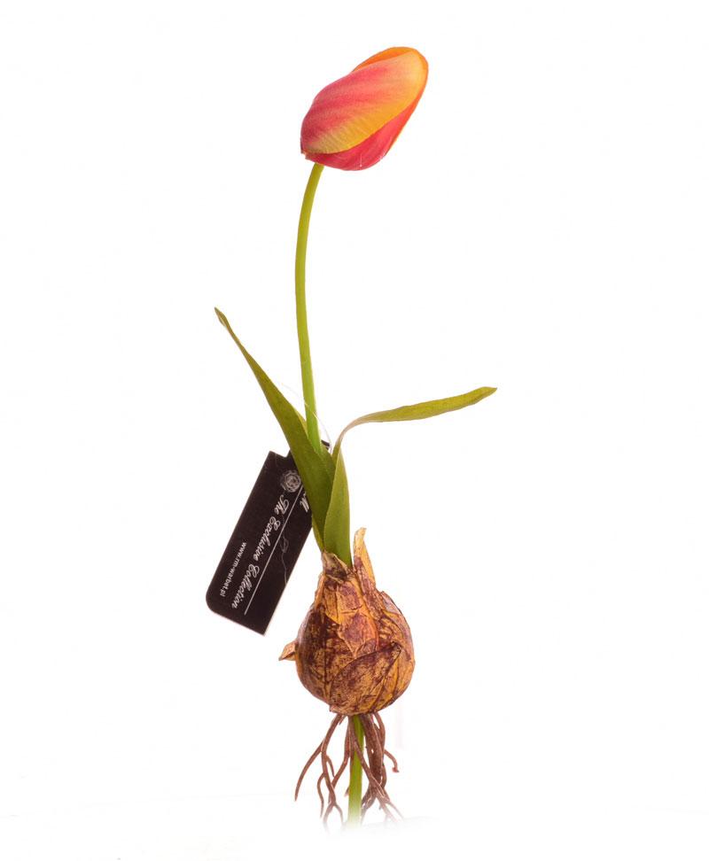 Znalezione obrazy dla zapytania: tulipan cebulka