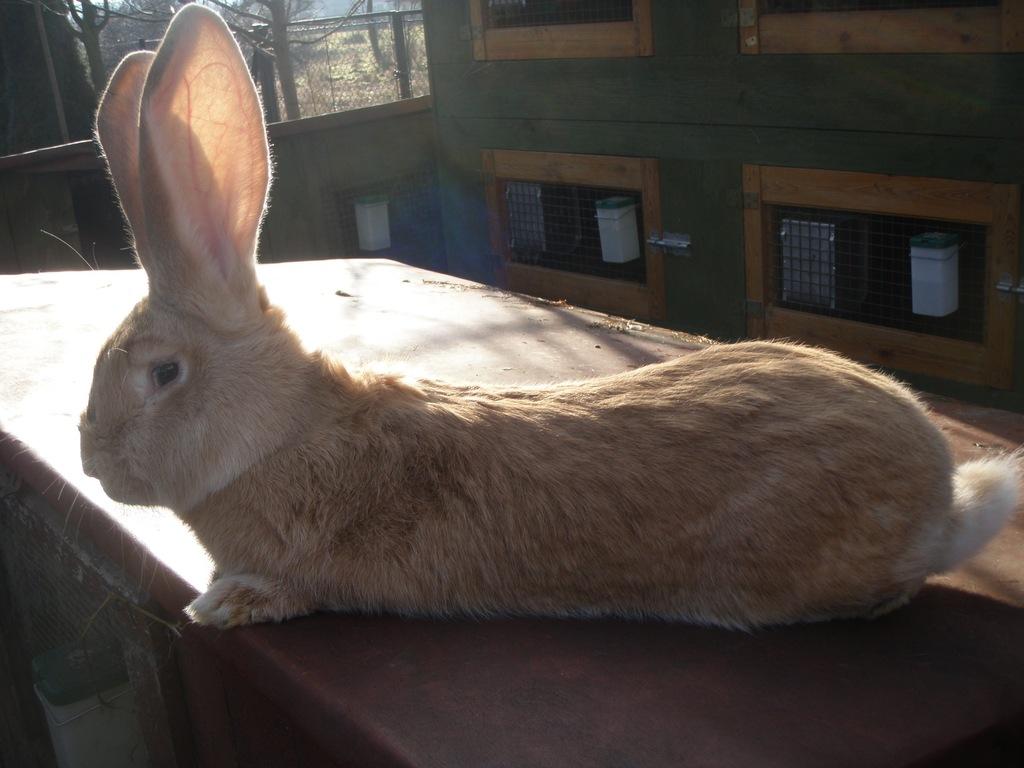 Olbrzym Belgijski Żółty BOŻ królik króliki