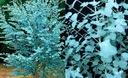 Eukaliptus gunni niebieski sadzonki 90-110cm 3L
