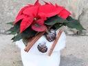 CZERWONA GWIAZDA świąteczna kompozycja kwiatowa