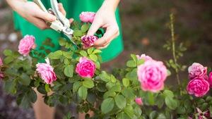 8223c8b21ff225 Róże ogrodowe: pnące, okrywowe, na pniu - sadzonki - Sklep Allegro.pl