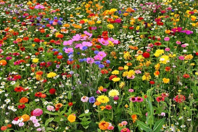 Клумба в виде ЛУГ miododajne виды, рай для бабочек 100г-