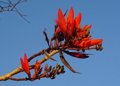 Erythrina abyssinica - ВЕЛИКОЛЕПНАЯ СЕМЕНА
