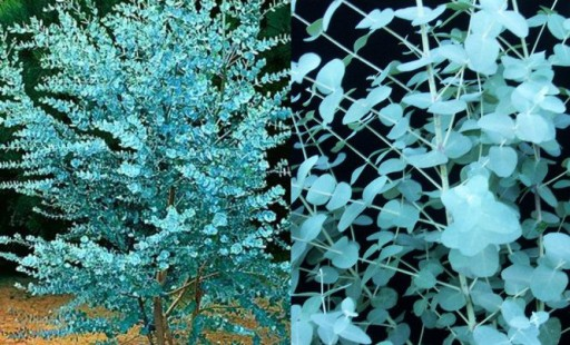 Eukaliptus gunni niebieski na pniu 20-30cm 1L